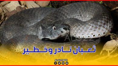 """صورة العثور على ثعبان نادر وخطير جدا بغابة""""جبل قهر"""" في وهران"""