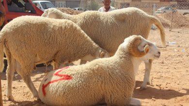 صورة إعادة فتح أسواق المواشي بولاية البويرة ابتداء من اليوم