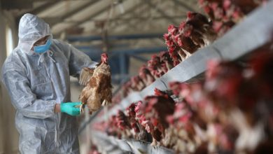 صورة أخاموك: لبس القناع الواقي وغسل الأيدي باستمرار للوقاية من إنفلونزا الطيور