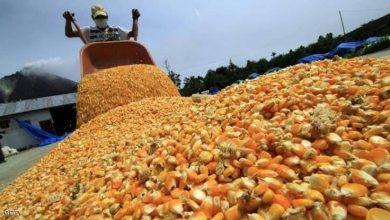 صورة الجزائر تقتني 30 ألف طن من علف الذرة الأرجنتيني