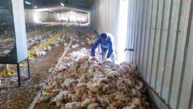 صورة حسين بودينة:نفوق 1.5 مليون دجاجة سبب التهاب أسعار الدواجن