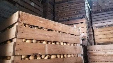 """صورة وزارة الفلاحة: حجز مخزونات غير شرعية لـ """"البطاطا"""" تكفي لـ20 يوما من الإستهلاك"""